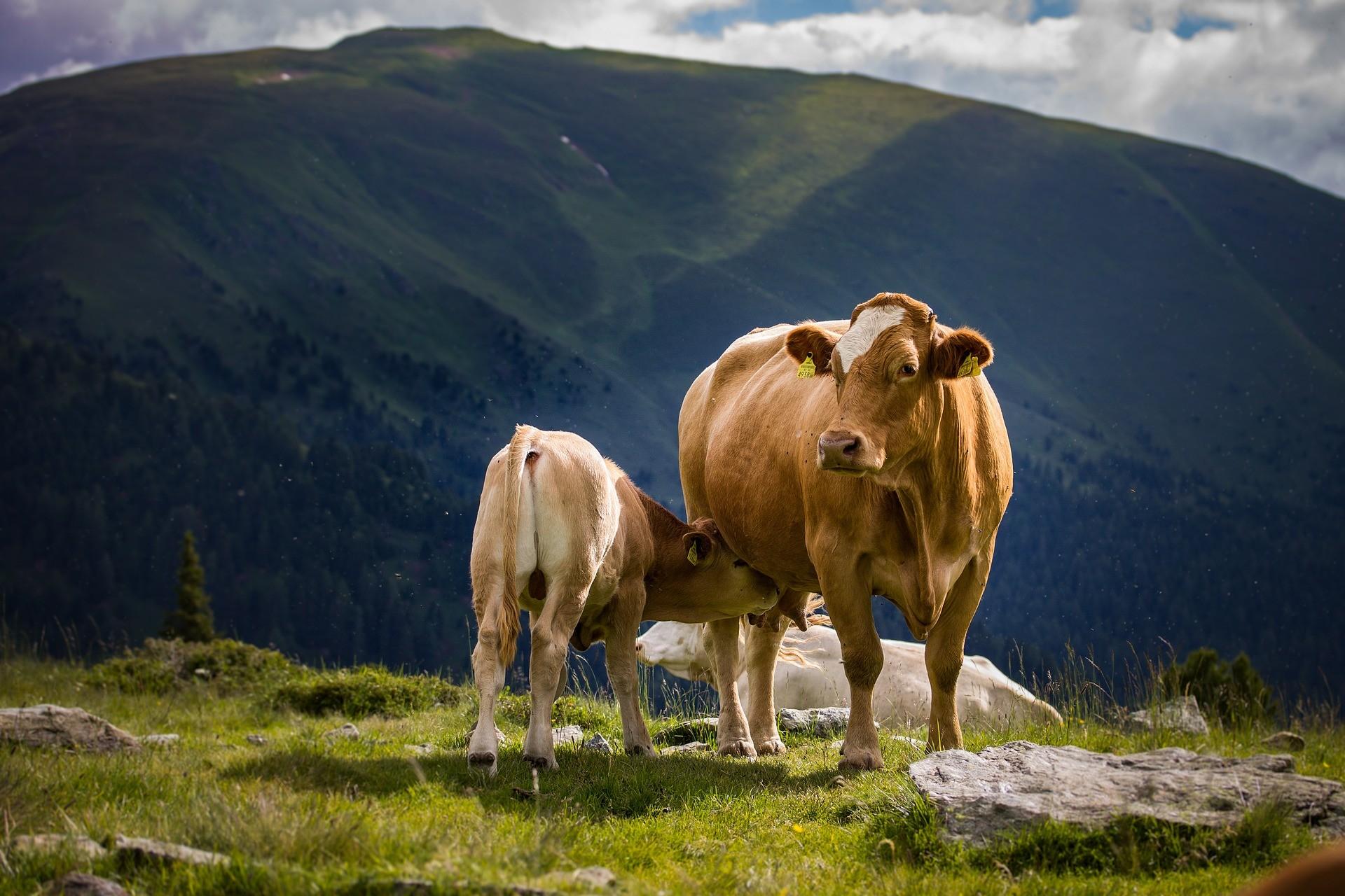 Cromo é aliado na redução dos níveis de estresse nos bovinos de leite