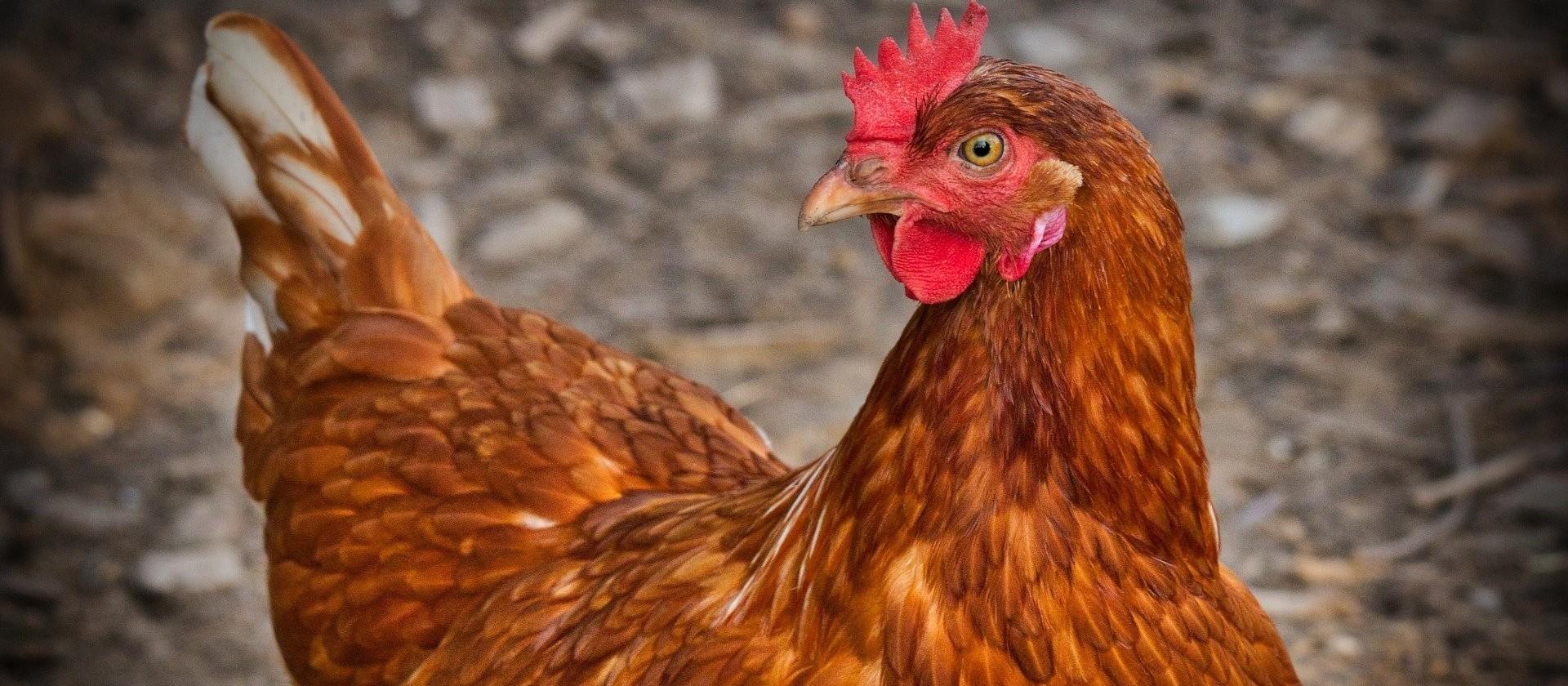 Indústrias avícolas investiram R$ 100 milhões em ações contra a Covid