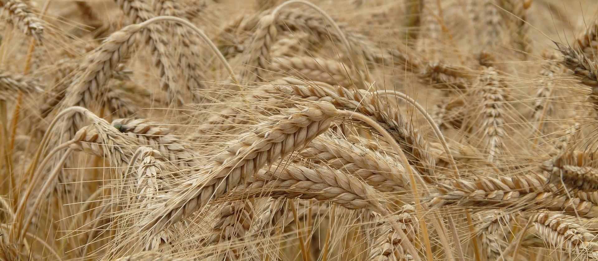 Semeadura do trigo está na reta final no Paraná