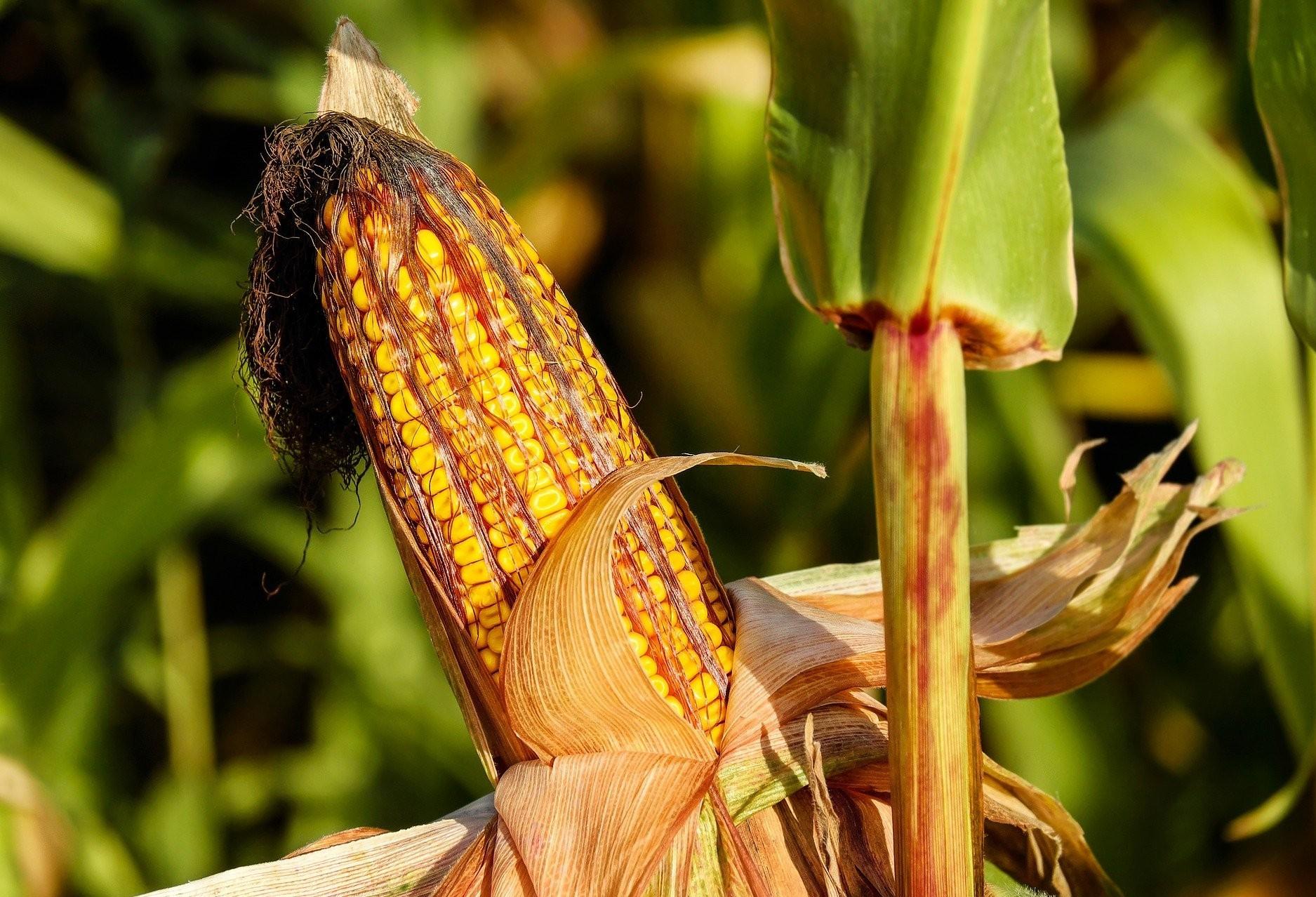 Por causa de chuvas,  Paraná colheu apenas 11% da safra de milho