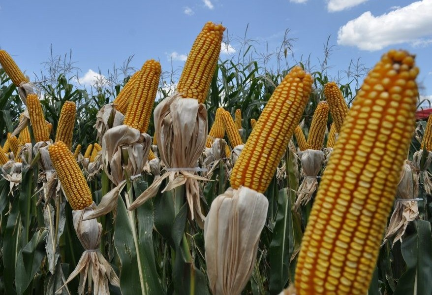 Especialistas falam sobre safra e exportação do milho para os Estados Unidos
