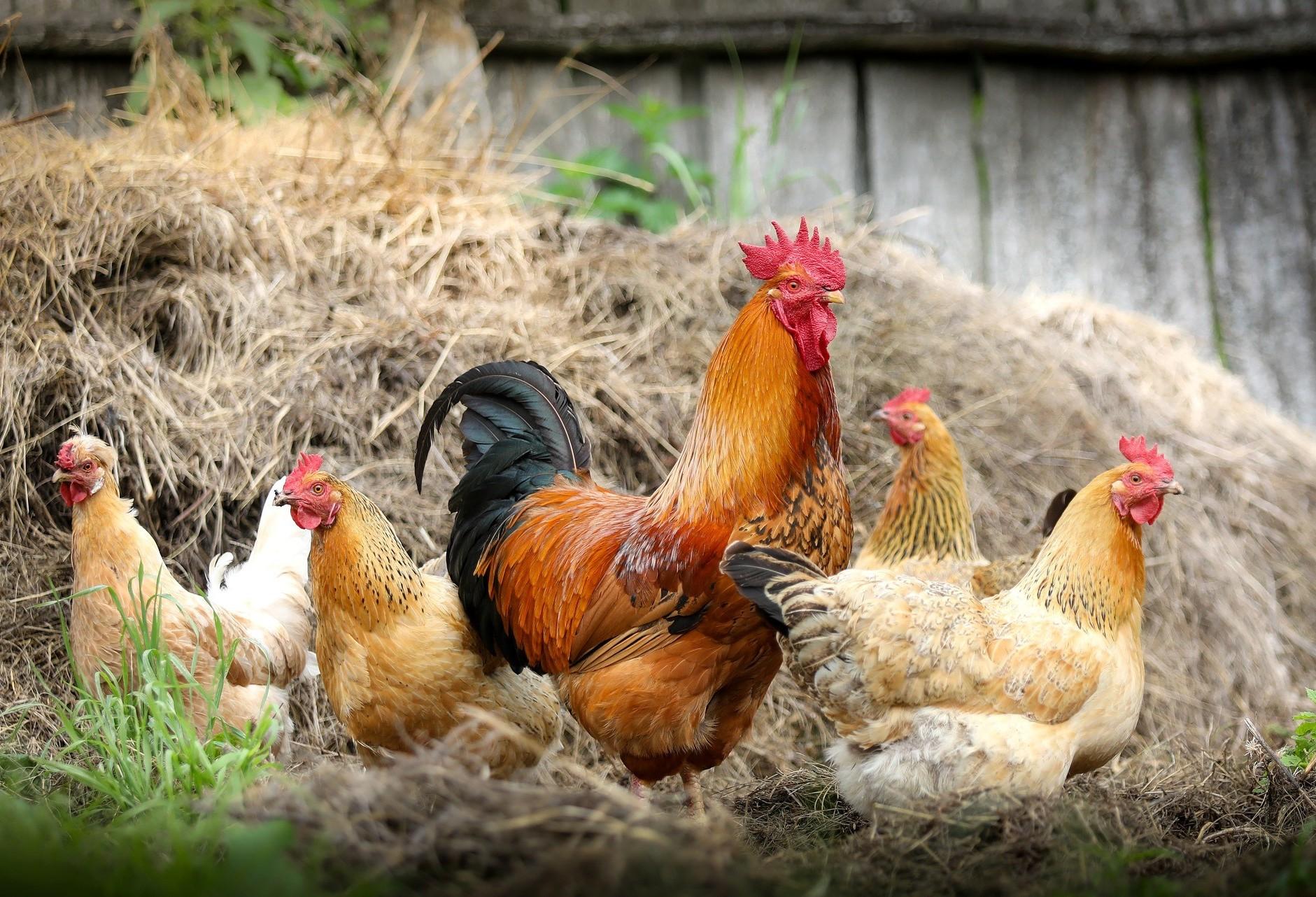 Frango com Salmonella: o que o avicultor deve fazer para previnir essa bactéria
