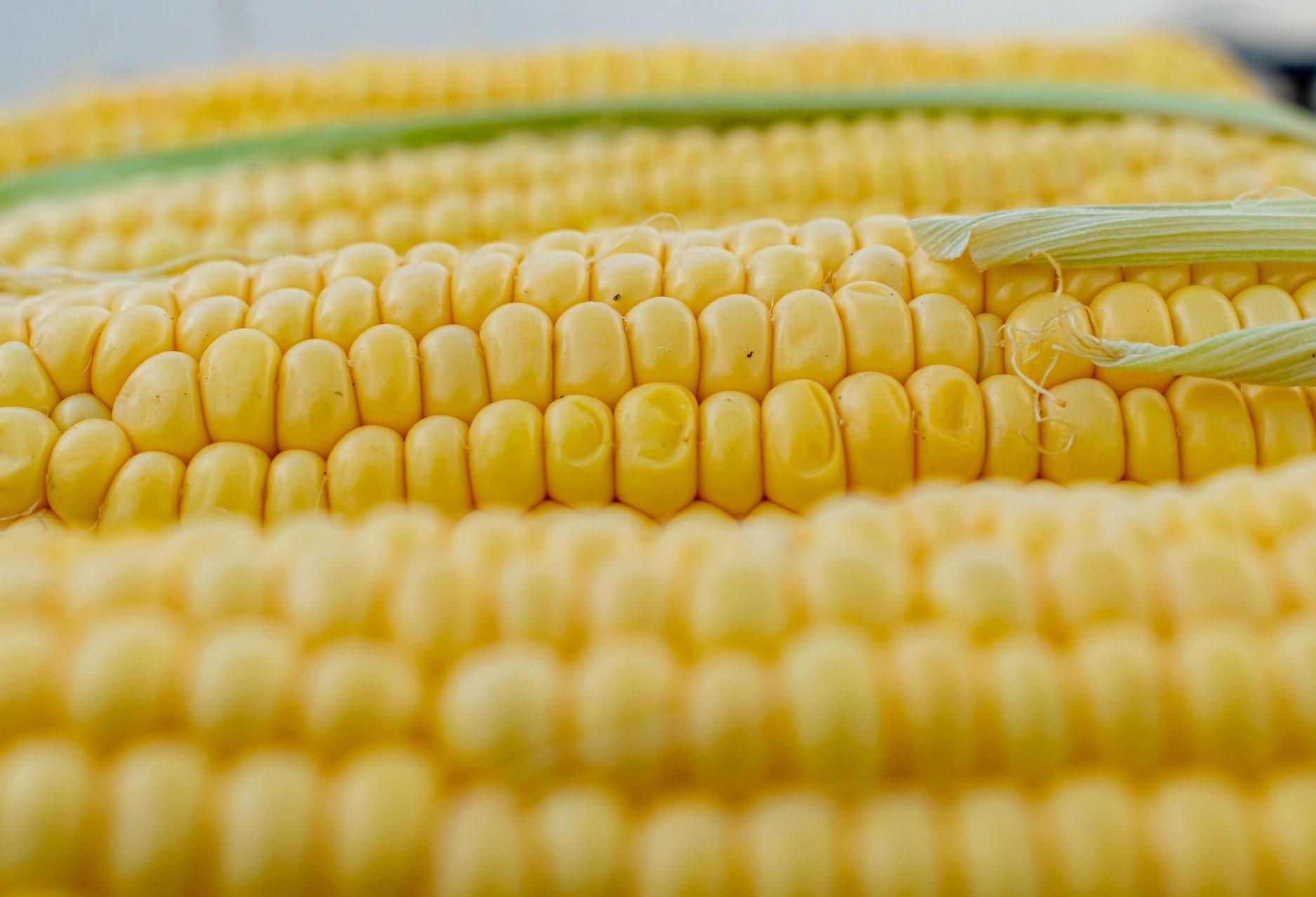 Safra de milho do Paraná tem perda de 8,5 milhões de toneladas