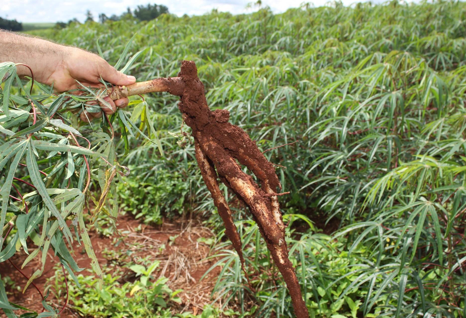 IAPAR  lança nova cultivar de raiz de mandioca
