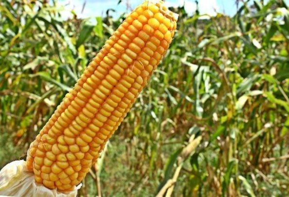 Técnicas e soluções inovadoras para o soja e o milho