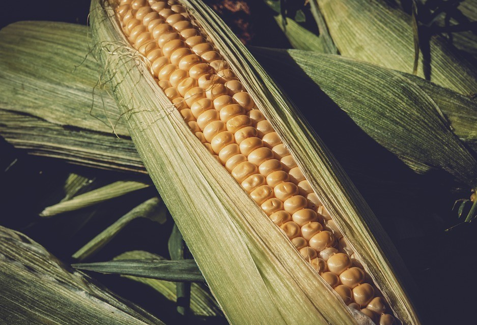 Plantio de milho e soja estão adiantados na região