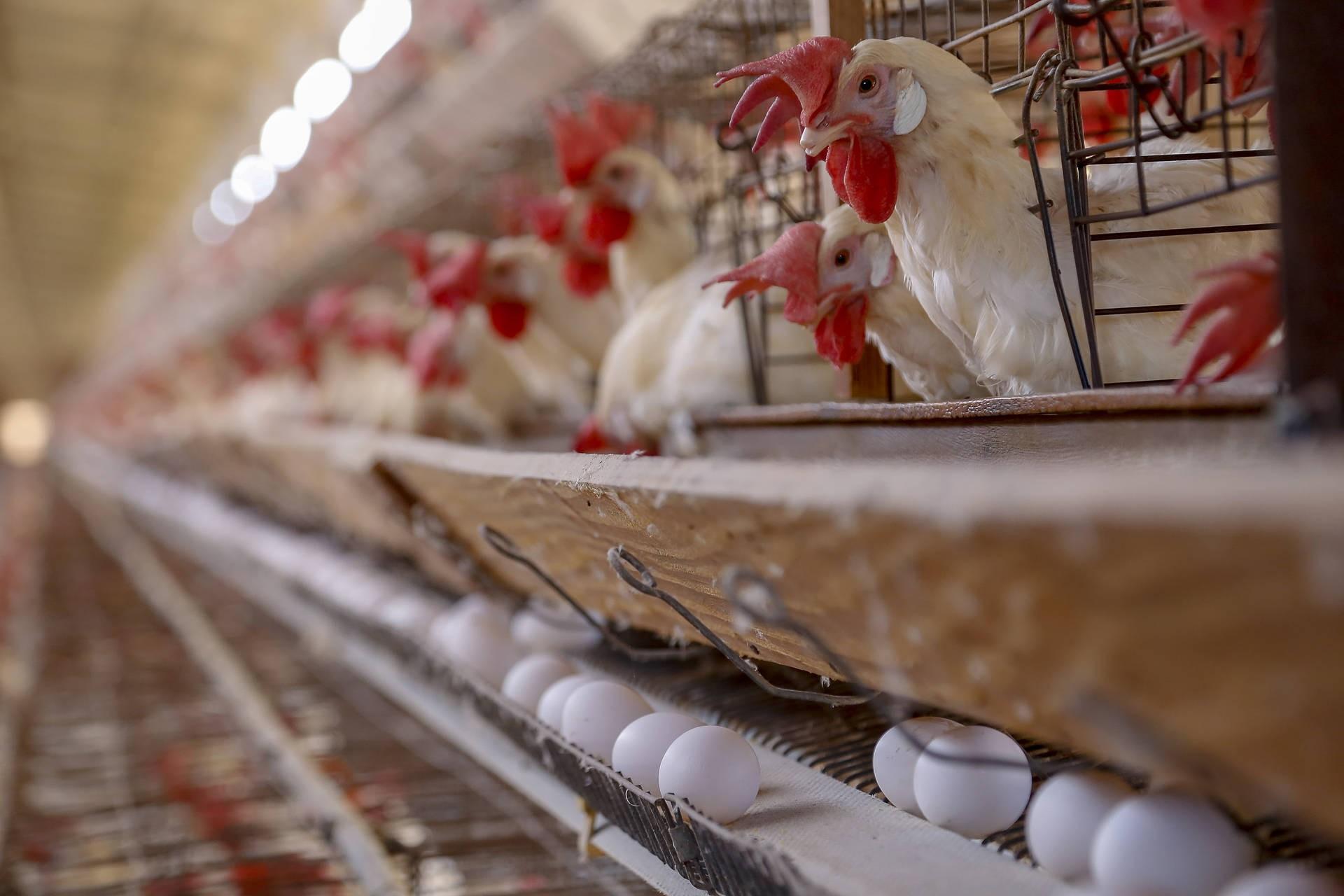 Paraná registra crescimento na produção de frangos, porcos e leite no 2º trimestre