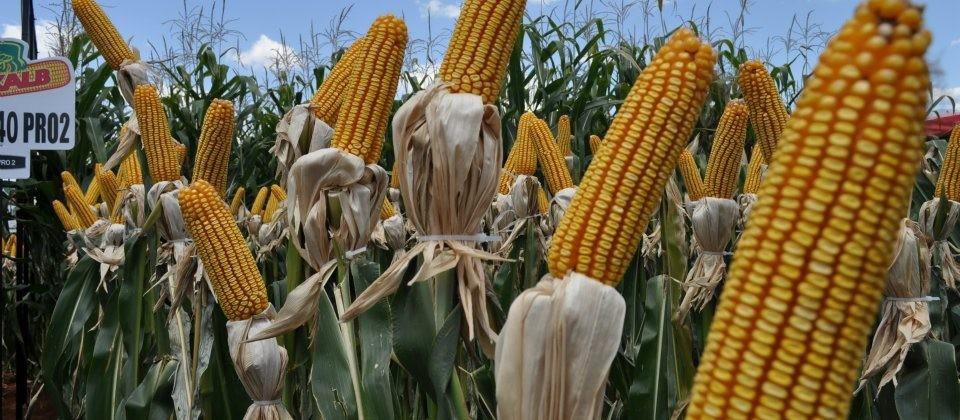 Paraná pede prorrogação do prazo de plantio de milho safrinha
