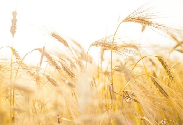 A média de preços do trigo no primeiro semestre de 2019 é superior à do mesmo período do ano passado