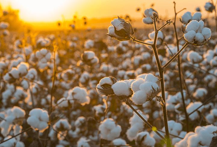 Brasil é um dos principais produtores de algodão