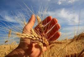 Geada pode prejudicar trigo plantado na região