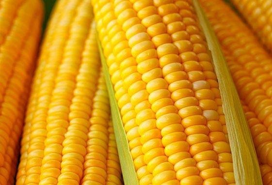 Brasil envia 60 toneladas de milho para os EUA