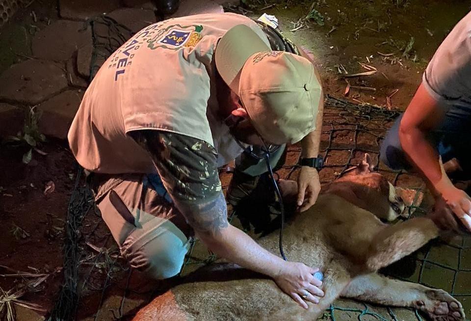 Onça-parda resgatada em Quedas do Iguaçu passa por exames, em Cascavel
