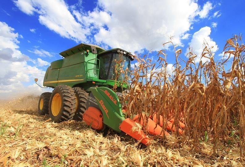 21% da área do milho segunda safra já estão colhidos