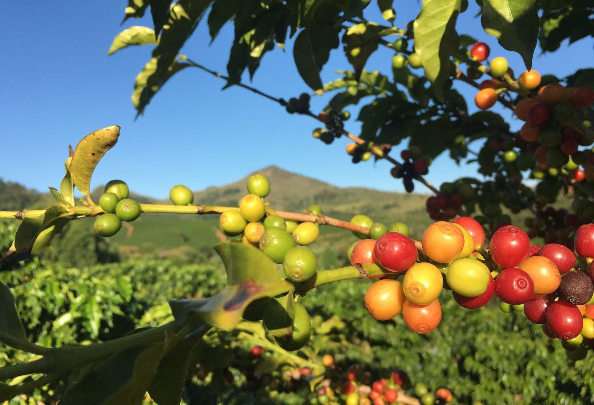 Frio pode trazer danos para plantação de café e cana-de-açúcar