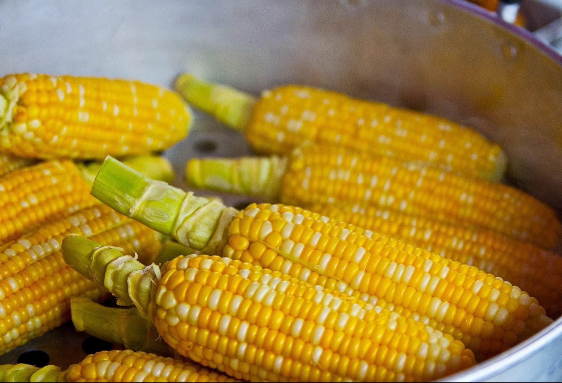Tempo mais chuvoso favorece desenvolvimento do milho recém plantado na região Sul