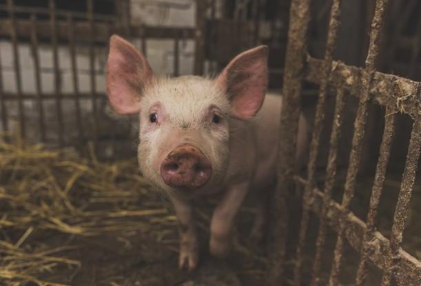 Paraná é o terceiro maior exportador de suínos do Brasil