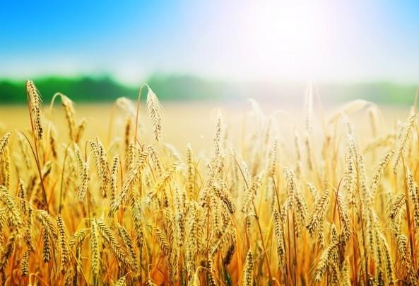 Plantio do trigo avança no Brasil