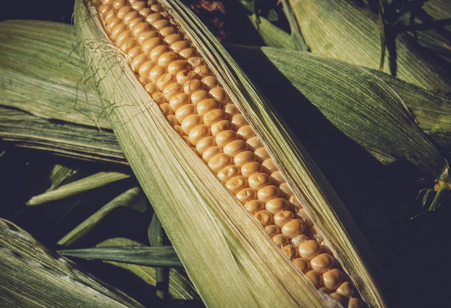 Chuva deve abandonar o milho segunda safra em fase crítica