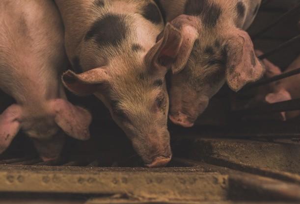 Suinocultura é um dos ramos mais lucrativos da pecuária
